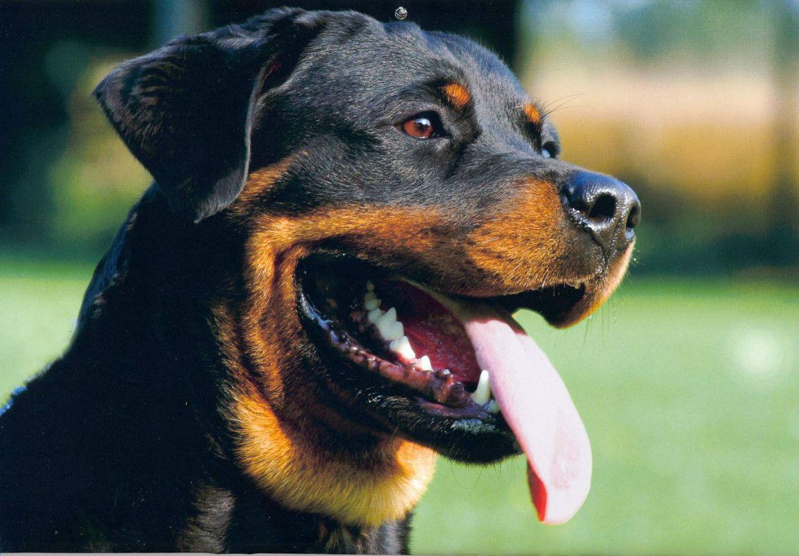 Best Food For Rottweiler In India