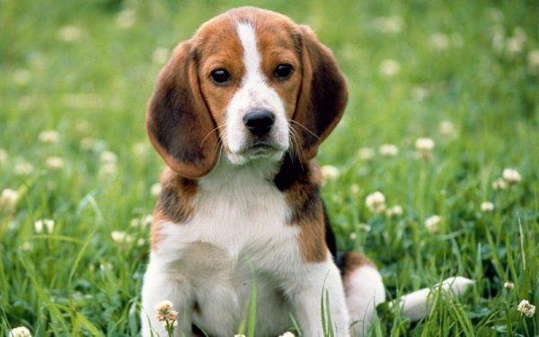 10 Things You Didn't Know About Beagle Dog