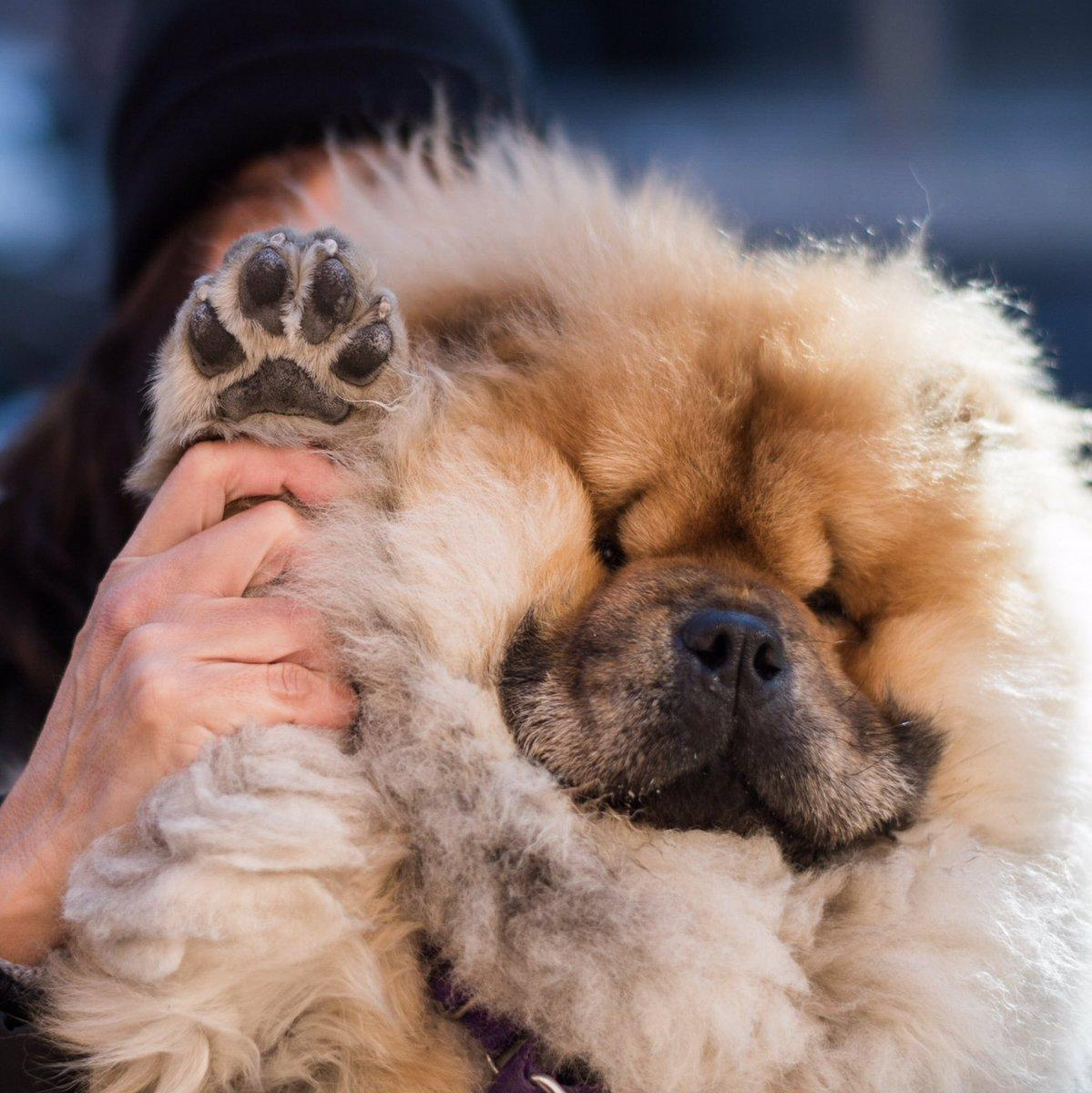 8  Signs Your Chow Chow Is Fully In Charge