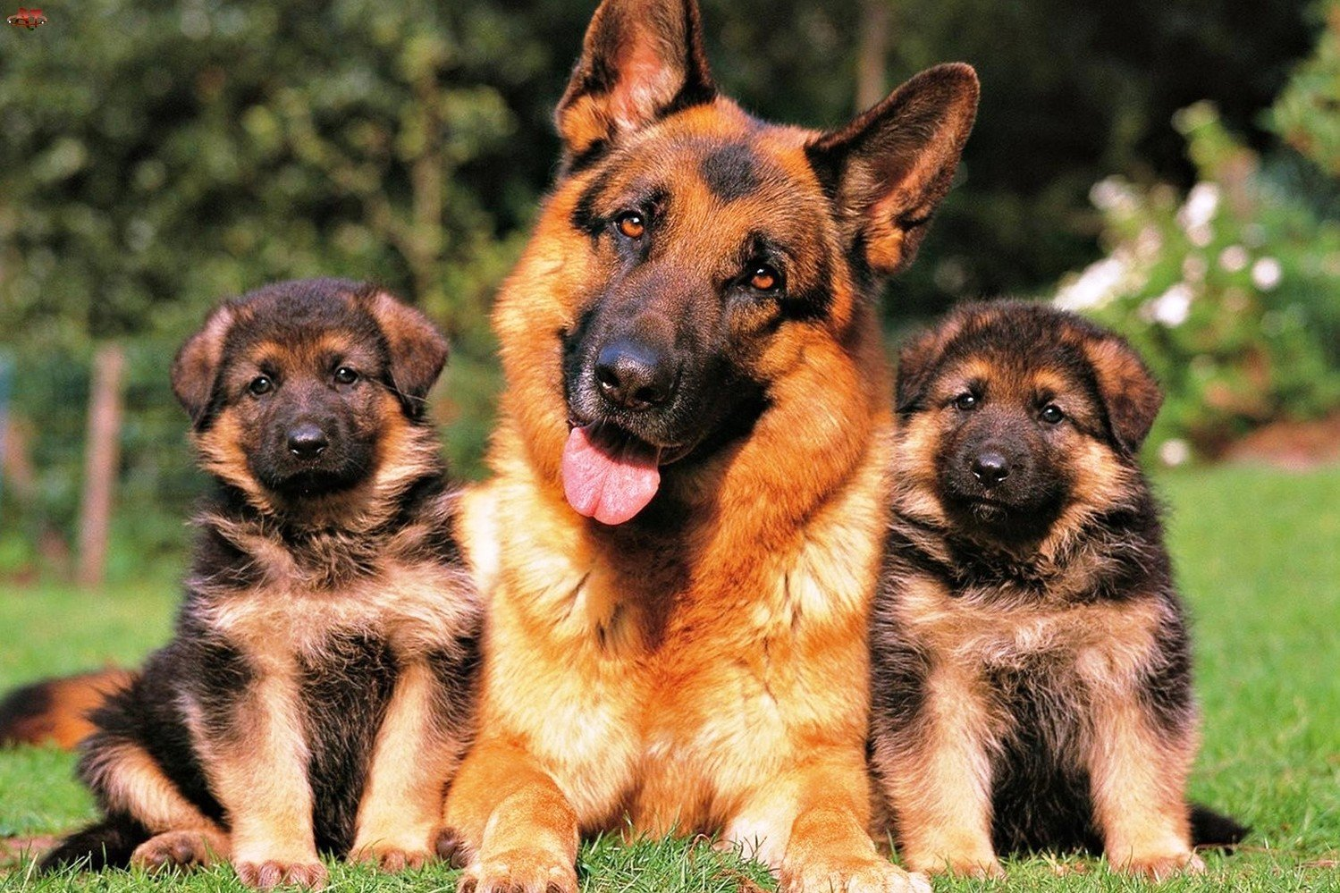13 Totally Weird Things Your German Shepherd Enjoys For Some Reason
