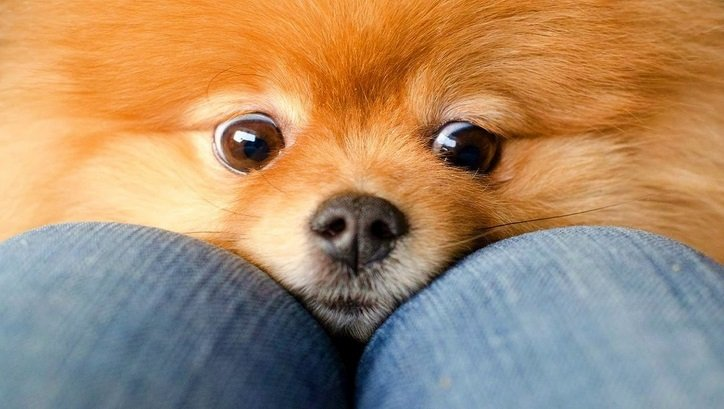 8  Signs Your Pomeranian Is Fully In Charge