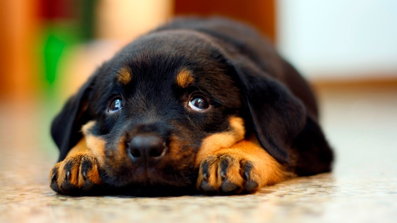 9 Reasons You Should Cuddle Your Rottweiler More Often