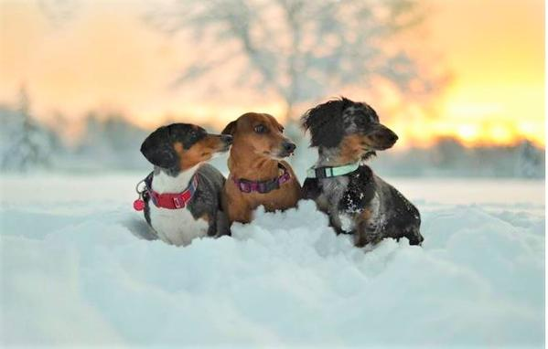 Is It Too Cold to Walk Your Daschunds?