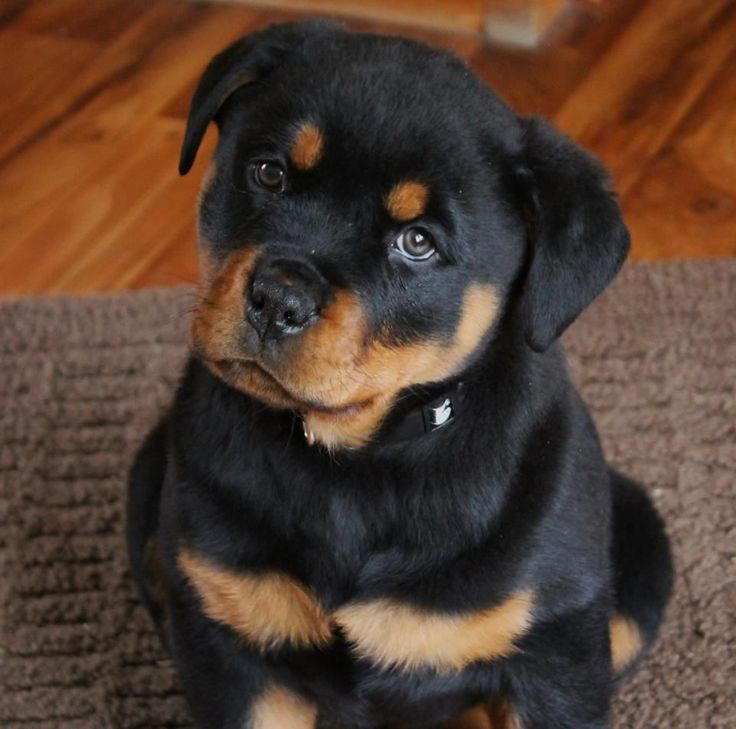 10 Signs Your Rottweiler Is Taking Over The House Sonderlives