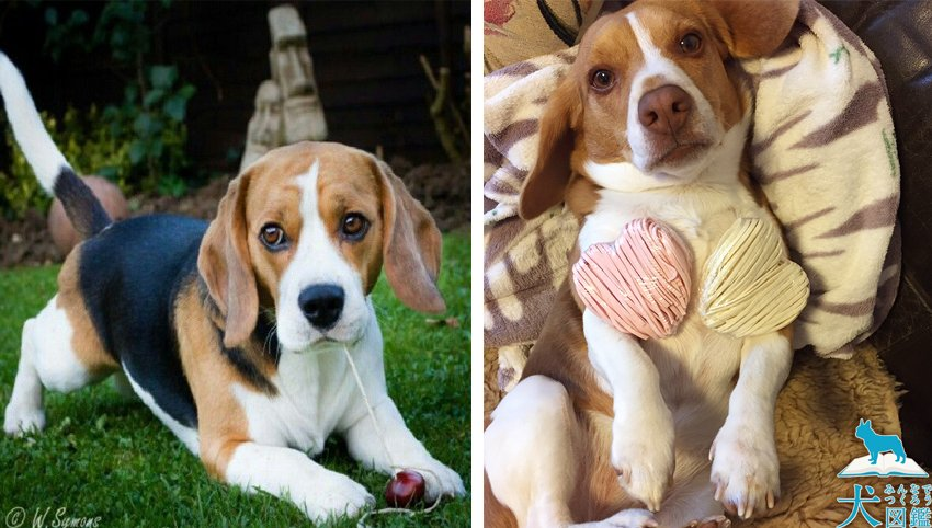 10 Signs Your Beagles is Taking Over the House