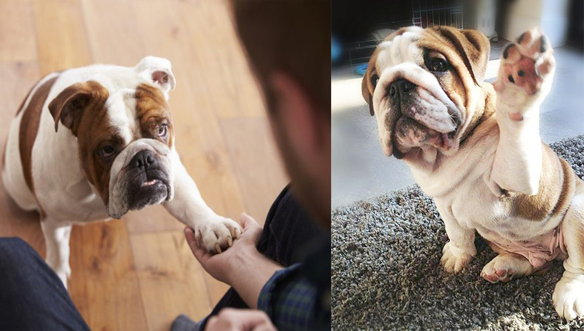 9 Signs That Your Bulldog Is Your Soulmate
