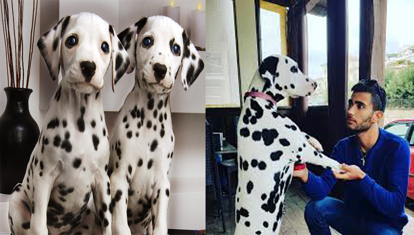 9 Signs That a Dalmata dog Is Your Soulmate