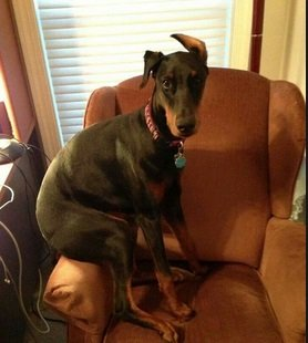 10 Signs Your Doberman is Taking Over the House