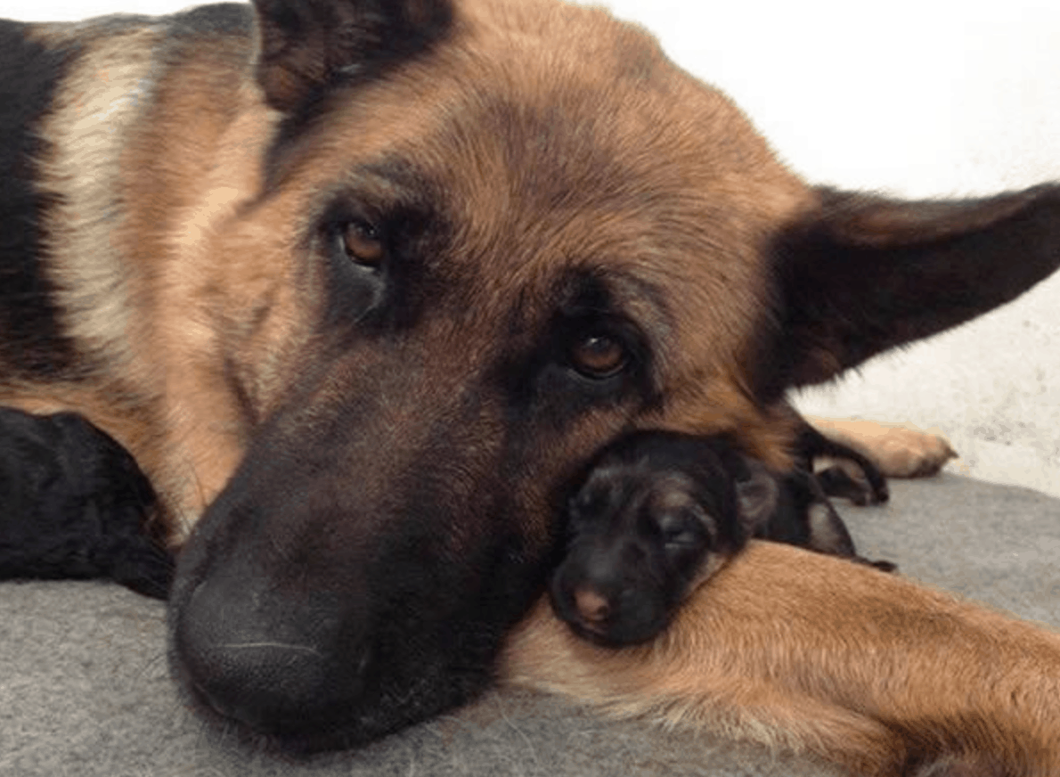 15 Things that  you have to endure of your German Shepherd for real love.