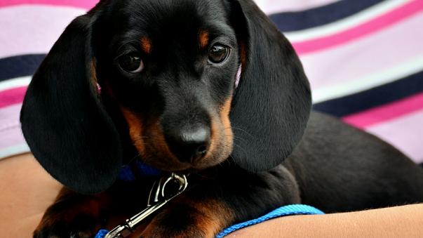 15 Things That  You Undestand Of Your Dachshund For Real Love.