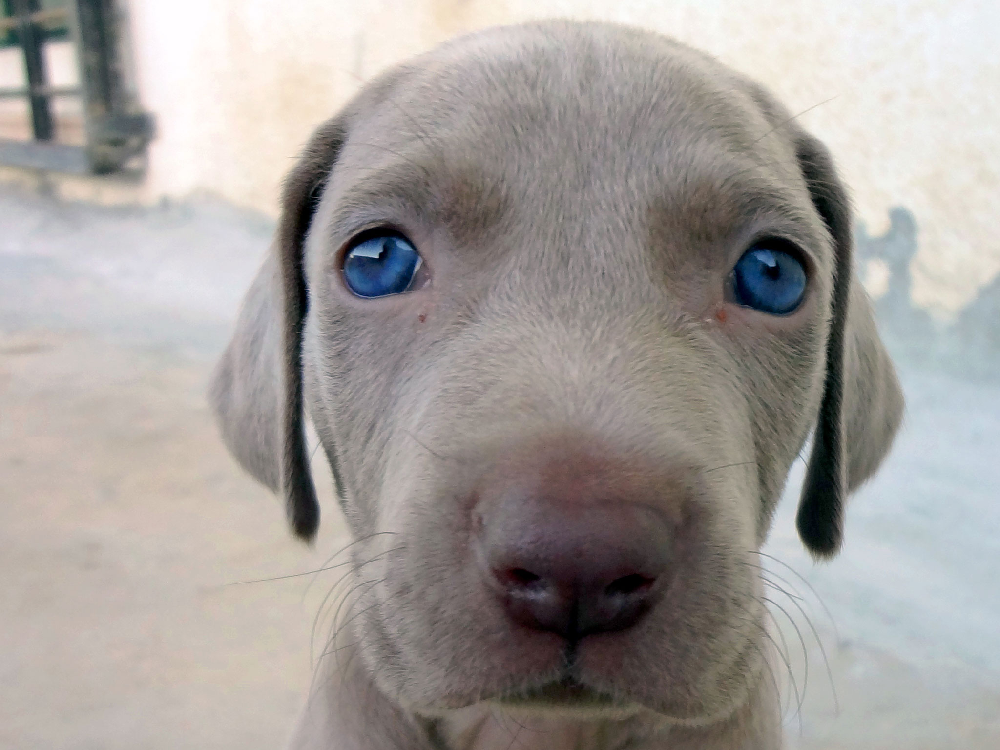 15 Things that  you have to endure of your Weimaraner for real love.