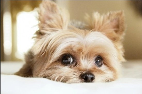 15 Things that  you have to endure of your Yorkie for real love.