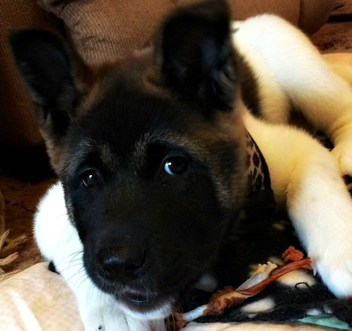 9 Signs You're Completely Obsessed With Akita