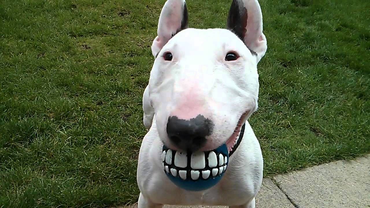 9 Signs You're Completely Obsessed With Bull Terrier