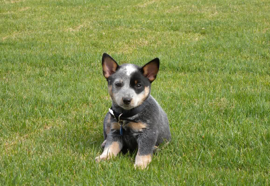 9 Signs You're Completely Obsessed With Heelers