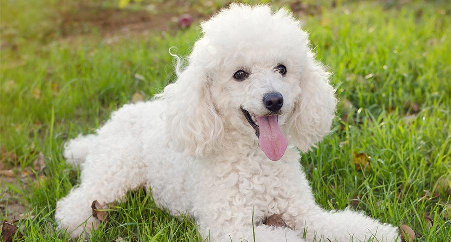 9 Signs You're Completely Obsessed With Poodles