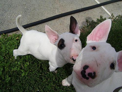 9 Things Your Bull Terrier Wants to Tell You