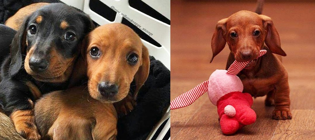 9 Tips For You To Conquer Your Dachshund