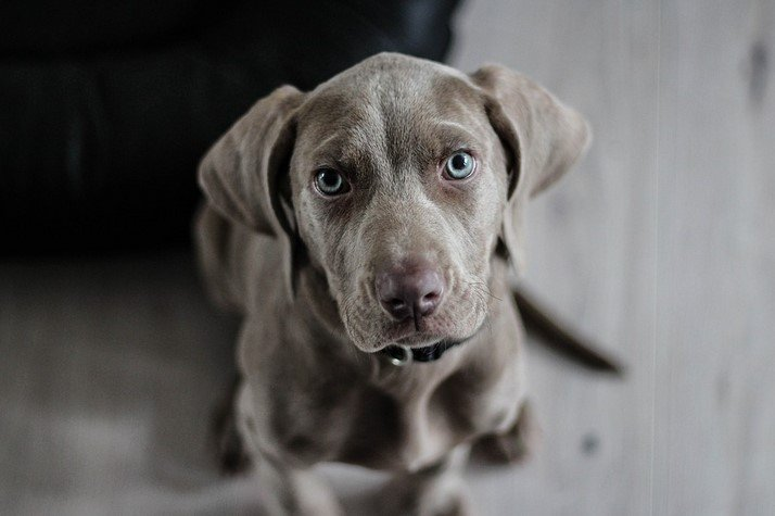 9 Tips For You To Conquer Your Weimaraner