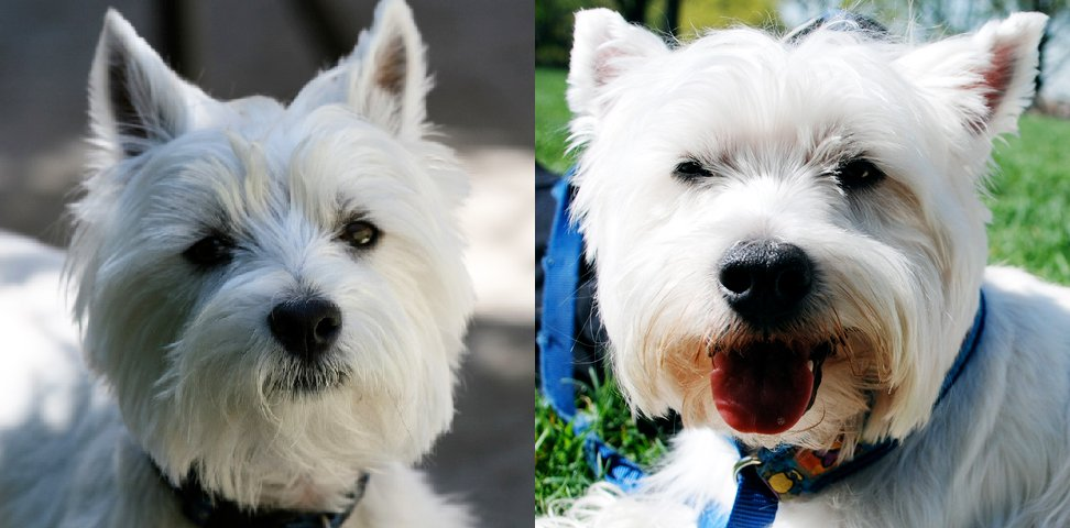 9 Tips For You To Conquer Your Westies