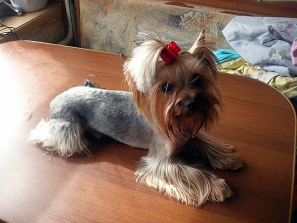 9 Things Your Yorkie Wants to Tell You