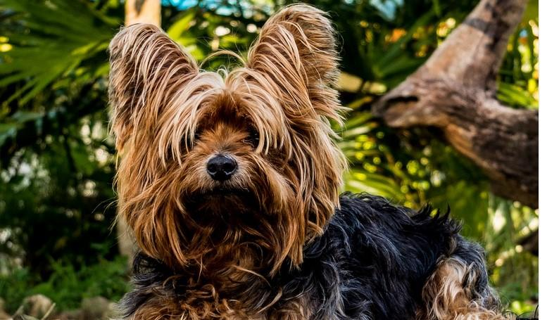 9 Tips For You To Conquer Your Yorkie