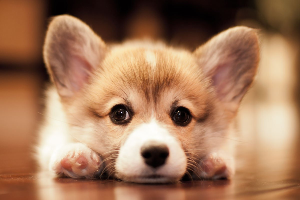 5 Things Your Corgi Loves To Chew But Absolutely Shouldn't