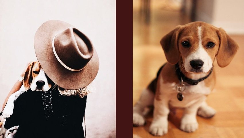 13 Signs Your Beagles Loves You More Than He Loves Himself