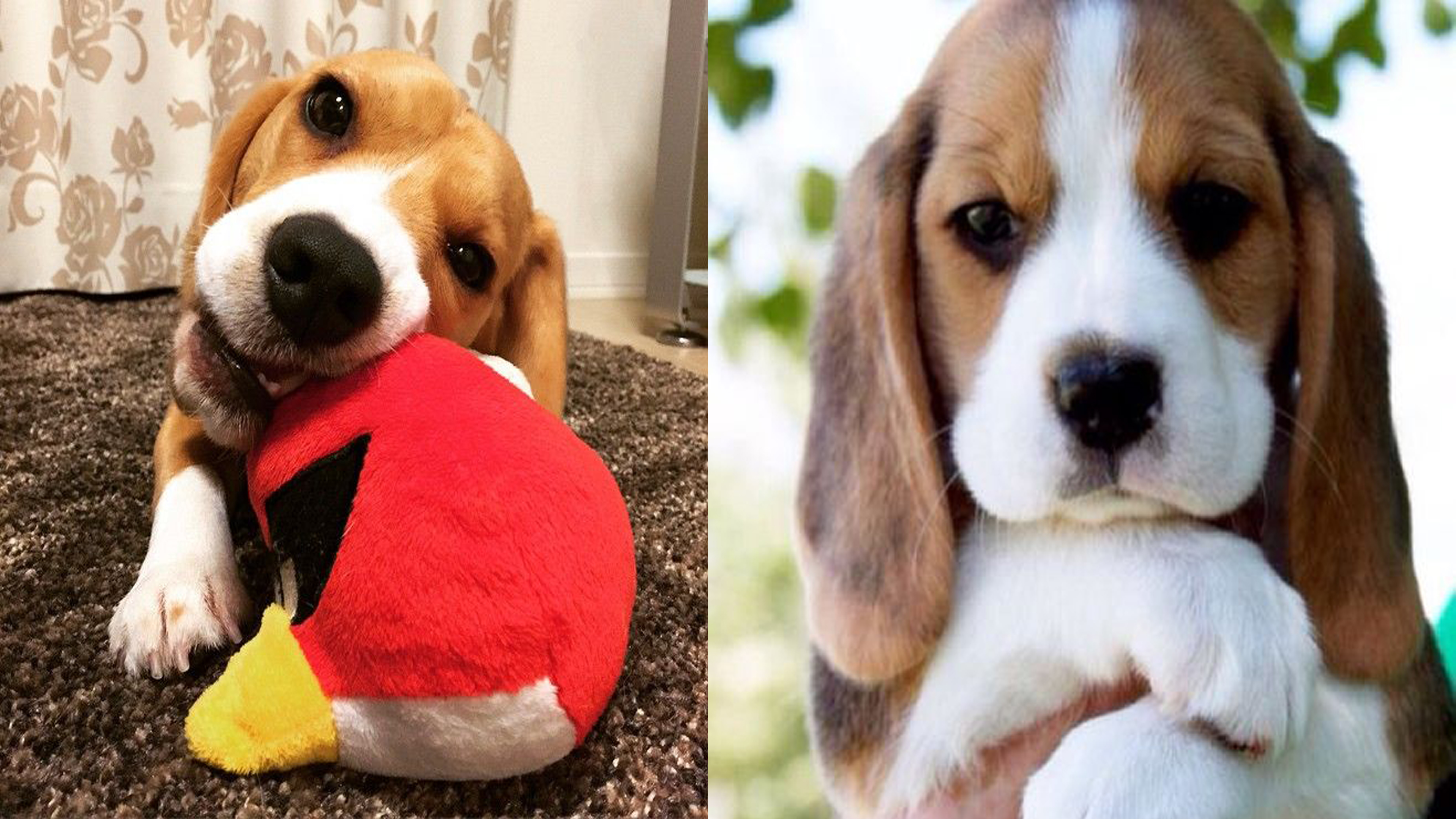 15 Signs You're An Overprotective Beagles Parent