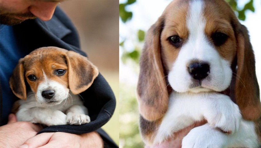 9 Ways Your Beagle is Secreatly Communicating With You