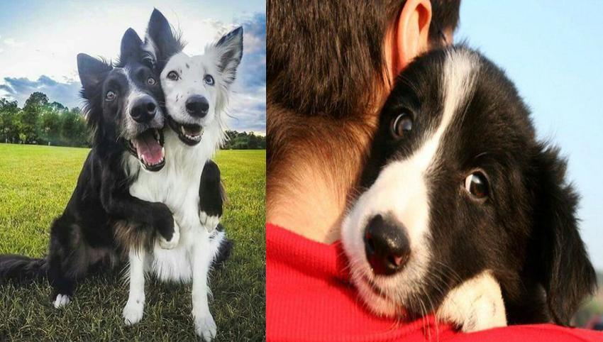 10 Signs Your Border Collie Is Obsessed With You!