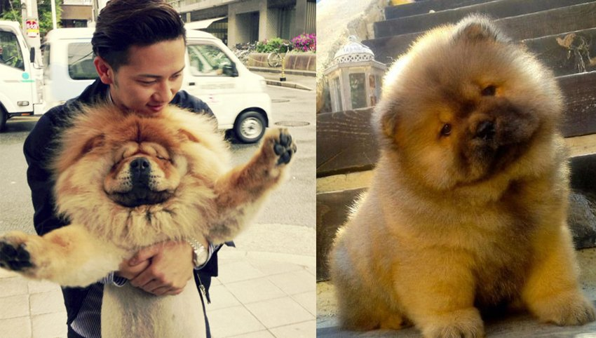 "9 Signs Your  Chow Chow is Actually Your ""Baby"""