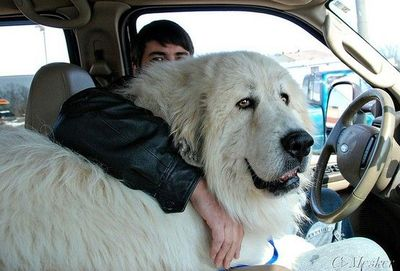 8 Signs Your Great Pyrenees is Fully In Charge