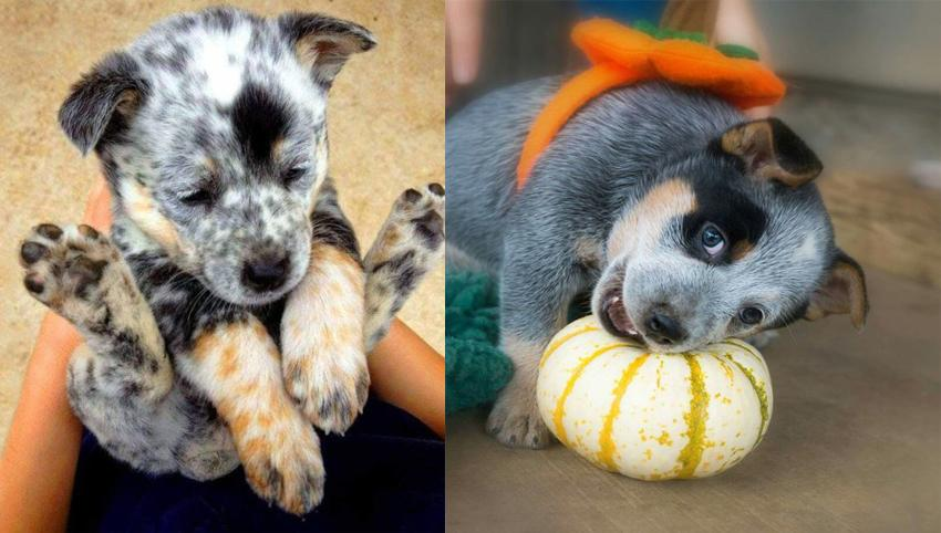 13 Signs Your Heeler Loves You More Than He Loves Himself