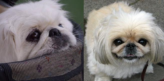 15 Signs You're An Overprotective Pekingese Parent