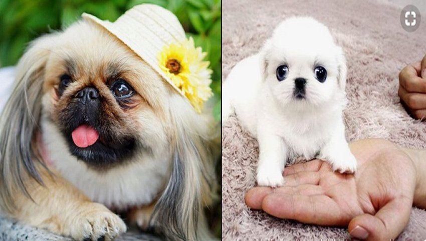 13 Signs Your Pekingese Loves You More Than He Loves Himself