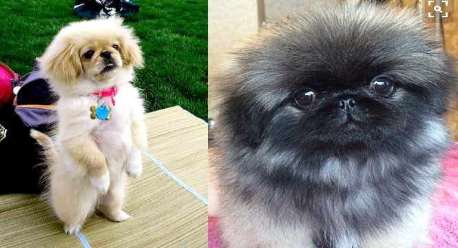 8 Signs Your Pekingese Fully In Charge