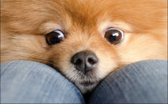 9 Stranger Ways Your Pomeranian Express Their Undying Love For You