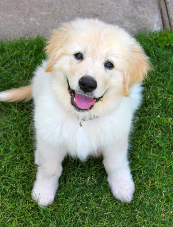 11 Overwhelming Moments Of Love Only Great Pyrenees Can Understand