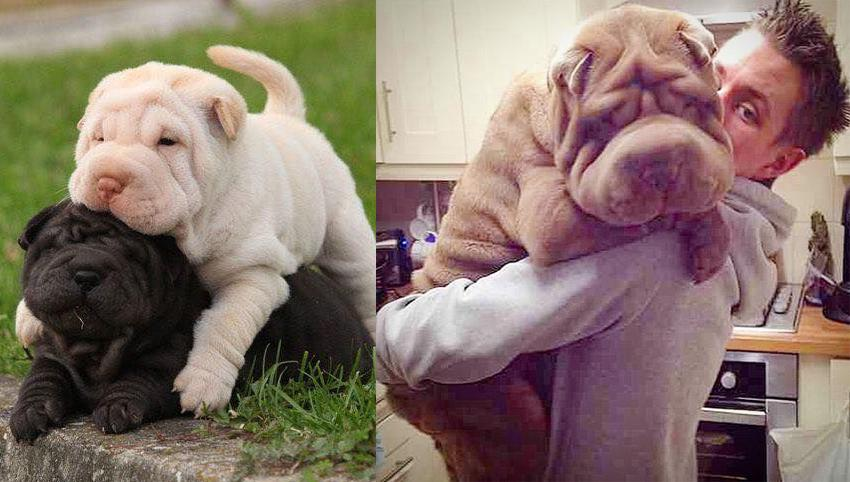 13 Signs Your Shar Pei Loves You More Than He Loves Himself