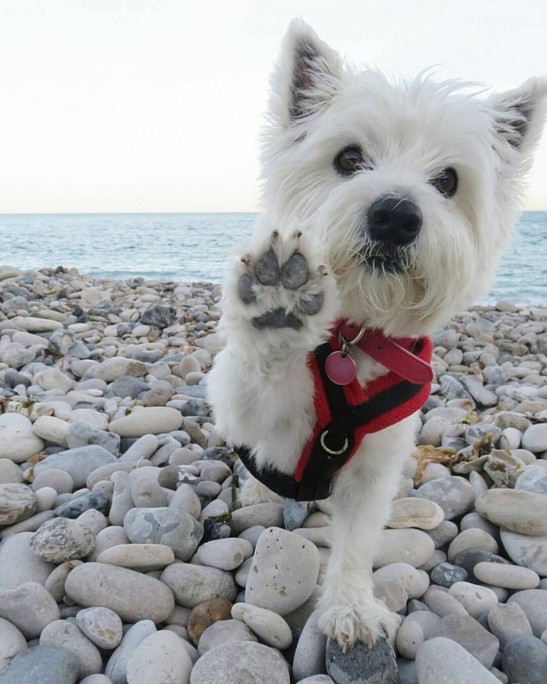 9 Sings Your Westie Thinks He S Boss Sonderlives