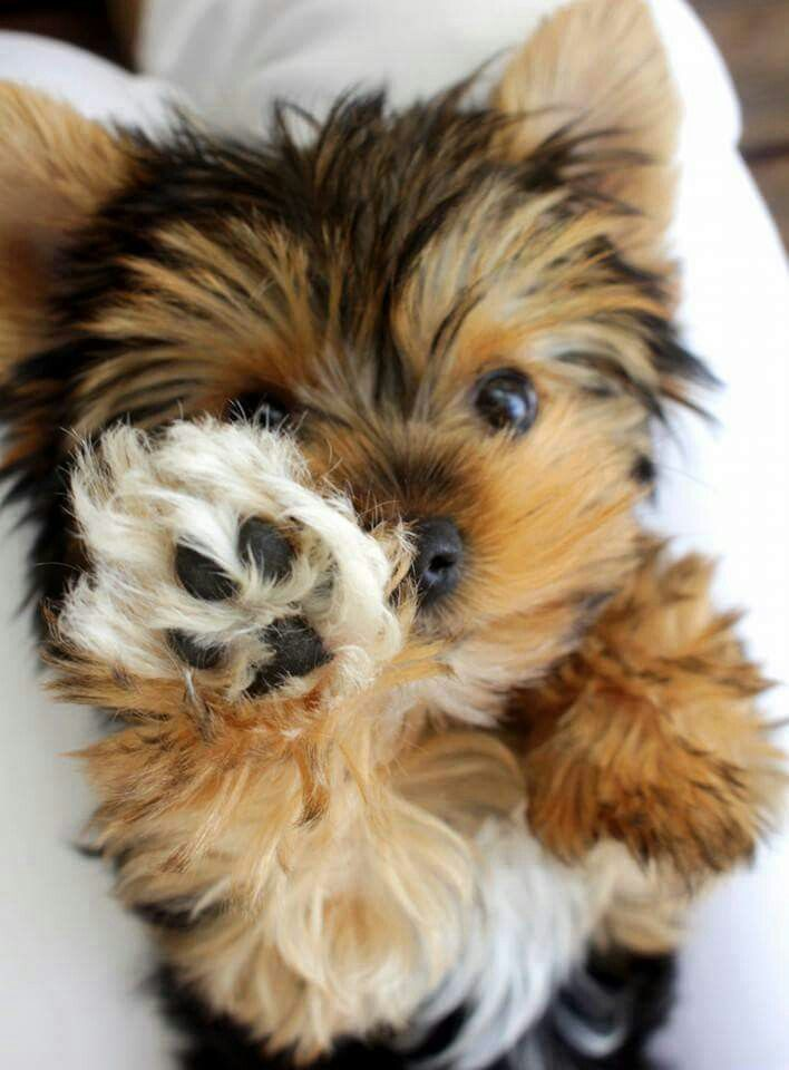 9 Reasons Why Yorkshire Terriers Make The Best Pets