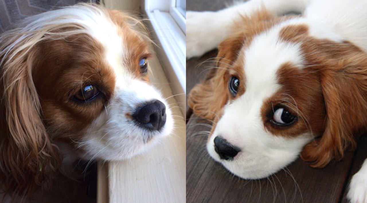 15 Things Your Cavalier King Charles Spaniel Does When Hes Trying