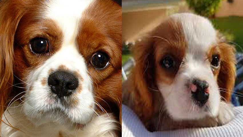 9 Tips For You To Conquer Your Cavalier
