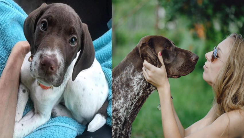 9 Signs Your German Shorthaired Pointer  Is Your Absolute Best Friend