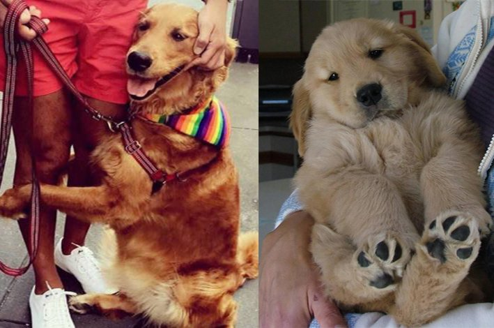 9 Strict Rules that Golden Retriever have established for humans to follow