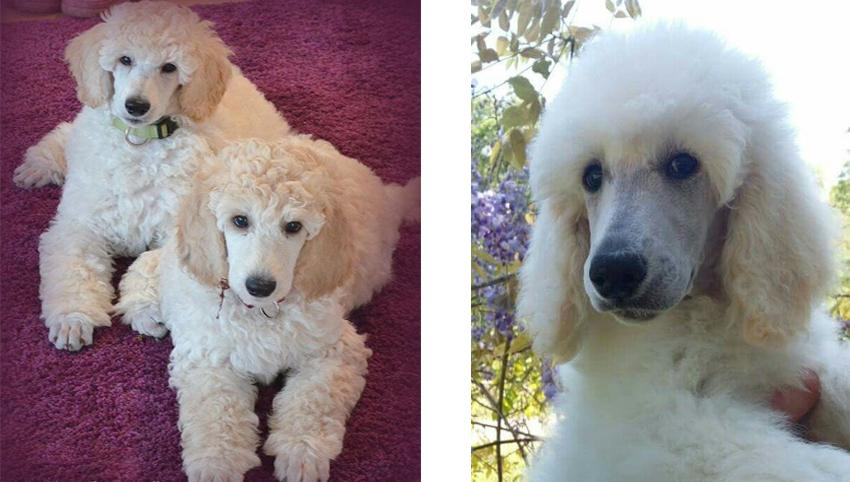 11 Signs Your Poodles Loves you too much and He's OBSESSED