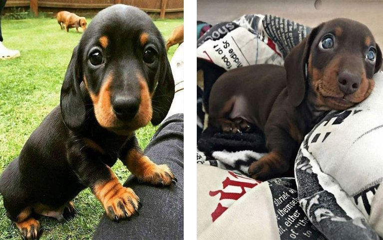 11 Signs Your Daschunds Is Obsessed With You
