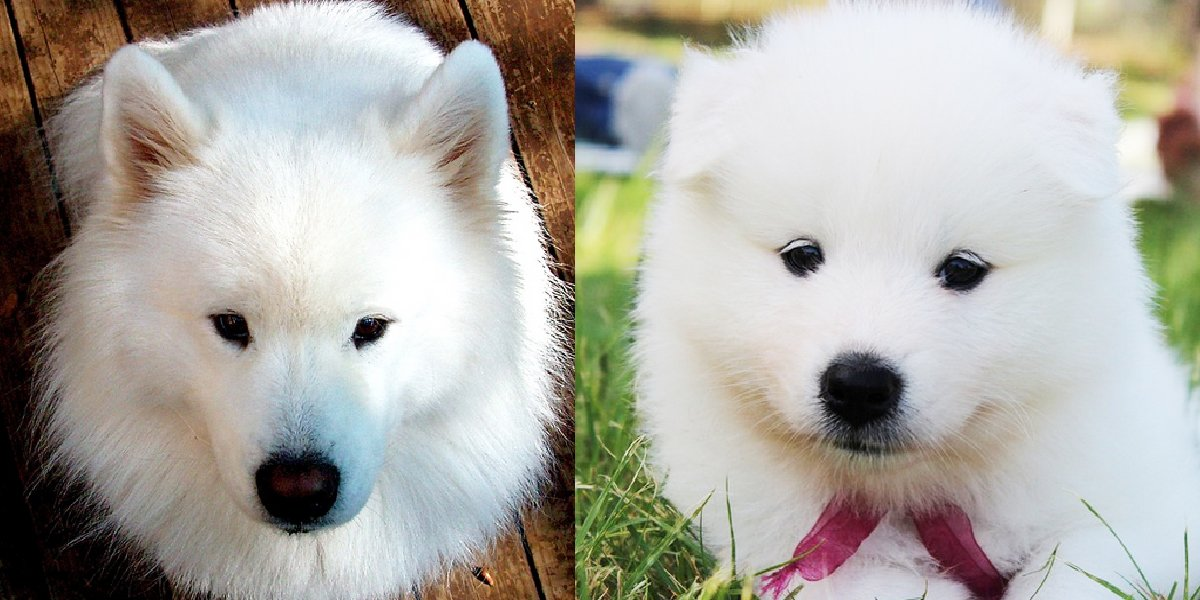 The 6 Best Things About Samoyeds