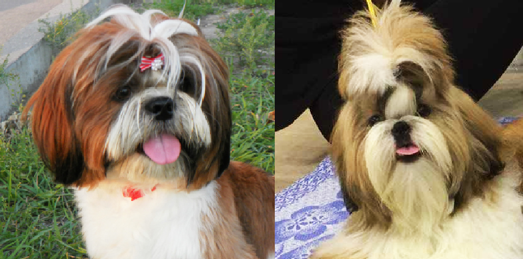9  Signs Your Shih Tzu Is The Head Of Your Household